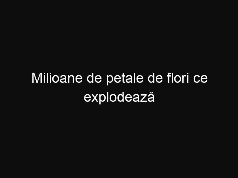 Milioane de petale de flori ce explodează asemenea unui Vulcan